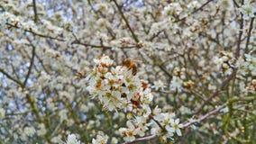 La abeja recoge el néctar en las flores blancas Imágenes de archivo libres de regalías
