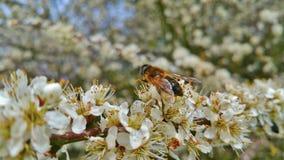 La abeja recoge el néctar en las flores blancas Fotos de archivo libres de regalías