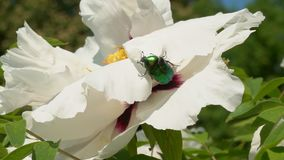 La abeja recoge el néctar en las flores metrajes
