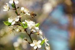 La abeja recoge el néctar en las flores de cerezo Fotografía de archivo libre de regalías