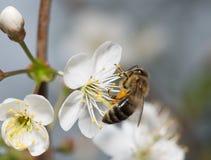 La abeja recoge el néctar en las flores de la cereza Foto de archivo libre de regalías