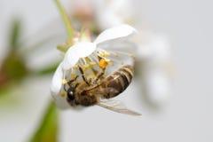 La abeja recoge el néctar en las flores de la cereza Imagen de archivo libre de regalías