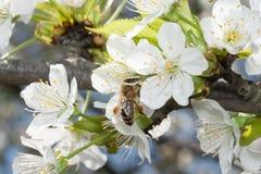 La abeja recoge el néctar en las flores de la cereza Imágenes de archivo libres de regalías