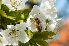 La abeja recoge el néctar en las flores de la cereza Imagen de archivo