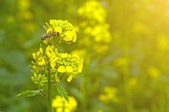 La abeja recoge el néctar en las flores de la mostaza en el campo Fotos de archivo libres de regalías