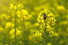 La abeja recoge el néctar en las flores de la mostaza en el campo Fotografía de archivo libre de regalías