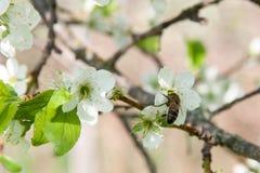 La abeja recoge el néctar en las flores de la pera cerca para arriba Fotos de archivo