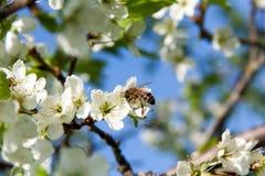 La abeja recoge el néctar en las flores de la pera cerca para arriba Foto de archivo libre de regalías