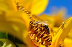 La abeja recoge el néctar en las flores de un girasol Imágenes de archivo libres de regalías