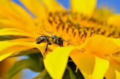 La abeja recoge el néctar en las flores de un girasol Fotos de archivo