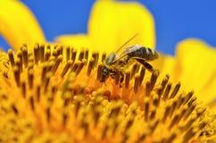 La abeja recoge el néctar en las flores de un girasol Foto de archivo libre de regalías