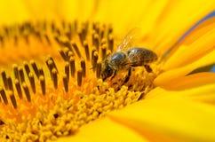 La abeja recoge el néctar en las flores de un girasol Imagenes de archivo