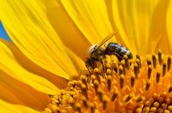 La abeja recoge el néctar en las flores de un girasol Imagen de archivo