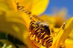 La abeja recoge el néctar en las flores de un girasol Foto de archivo