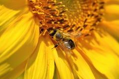 La abeja recoge el néctar en las flores de un girasol Imagen de archivo libre de regalías