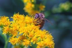 La abeja recoge el néctar en las flores de la vara de oro canadiense en un caliente Imagenes de archivo