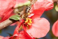 La abeja recoge el néctar en las flores del membrillo japonés (Chaenomel Fotografía de archivo
