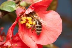 La abeja recoge el néctar en las flores del membrillo japonés (Chaenomel Imagen de archivo