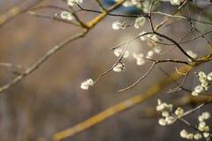 La abeja recoge el néctar en las flores del sauce de gatito, cámara lenta primavera La abeja recoge el polen de los brotes del sa fotografía de archivo