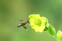 La abeja recoge el néctar en las flores del tabaco Imagenes de archivo