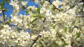 La abeja recoge el néctar en las flores florecientes de la cereza, vídeo de la cámara lenta, 240 fps almacen de video
