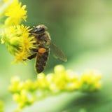 La abeja recoge el néctar en las plantas florecientes de prados Imagen de archivo libre de regalías