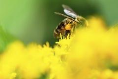 la abeja recoge el néctar en las plantas florecientes de prados - s floreciente Fotos de archivo libres de regalías