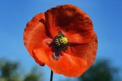 La abeja recoge el néctar en un brote grande de la grúa de una amapola floreciente Imagenes de archivo