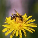 La abeja recoge el néctar en un diente de león Foto de archivo
