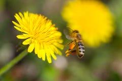 La abeja recoge el néctar en un diente de león Imagen de archivo libre de regalías