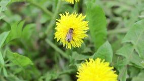 La abeja recoge el néctar en un diente de león almacen de video