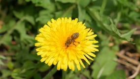 La abeja recoge el néctar en un diente de león metrajes