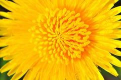 La abeja recoge el néctar en un diente de león, diente de león amarillo Foto de archivo libre de regalías