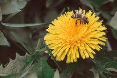 La abeja recoge el néctar en un diente de león, diente de león amarillo, flor, hierba verde, polen amarillo imágenes de archivo libres de regalías