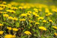 la abeja recoge el néctar en un diente de león, diente de león amarillo, flor, hierba verde Imagenes de archivo