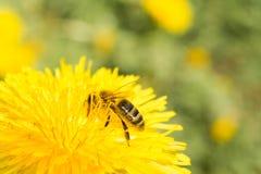 La abeja recoge el néctar en un diente de león floreciente amarillo, polen en las piernas de un insecto, fondo de la fauna Foto de archivo