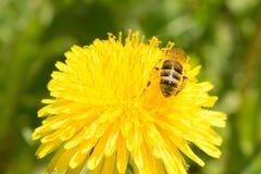 La abeja recoge el néctar en un diente de león floreciente amarillo, polen en las piernas de un insecto, fondo de la fauna Fotos de archivo