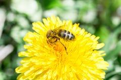 La abeja recoge el néctar en un diente de león floreciente amarillo, polen en las piernas de un insecto, fondo de la fauna Imagenes de archivo