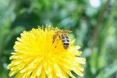 La abeja recoge el néctar en un diente de león floreciente amarillo, polen en las piernas de un insecto, fondo de la fauna Imágenes de archivo libres de regalías