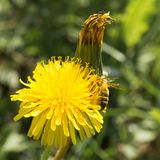 La abeja recoge el néctar en un diente de león floreciente amarillo, polen en las piernas de un insecto, fondo de la fauna Fotos de archivo libres de regalías