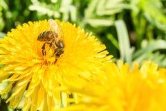 La abeja recoge el néctar en un diente de león floreciente amarillo, polen en las piernas de un insecto, fondo de la fauna Foto de archivo libre de regalías
