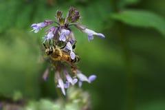 La abeja recoge el néctar en un salvia floreciente de la flor Imagen de archivo libre de regalías