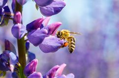 La abeja recoge el néctar en una flor Foto de archivo