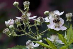 La abeja recoge el néctar en una flor Imagen de archivo libre de regalías