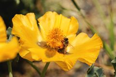 La abeja recoge el néctar en una flor amarilla Imagen de archivo libre de regalías