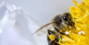 La abeja recoge el néctar en una flor amarilla Fotos de archivo libres de regalías