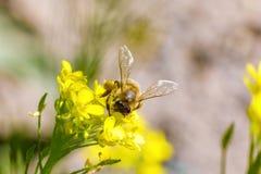 La abeja recoge el néctar en una flor amarilla Foto de archivo