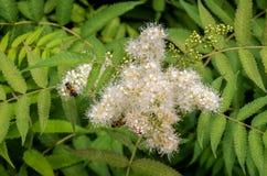 La abeja recoge el néctar en una flor blanca Imagen de archivo libre de regalías