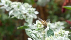 La abeja recoge el néctar en una flor blanca almacen de metraje de vídeo