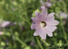 La abeja recoge el néctar en una flor rosada Imagenes de archivo
